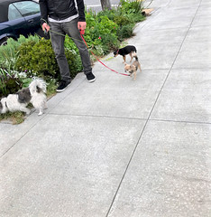 three dogs walking (Lynn Friedman) Tags: dogwalker small dogs chihuahua outside anonymous one men sanfrancisco 94117 garden sidewalk urban favstock editedversion