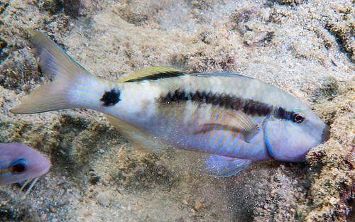 Longbarbel Goatfish, white phase - Parupeneus macronemus