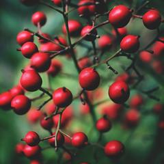 047 : 365 : VI (Randomographer) Tags: project365 red berries natural organic fruit food edible branch grow alive plant 47 365 vi