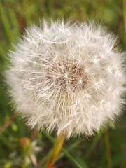 010 (Rae_Gellel) Tags: plumstead common london south east dandelion wish plant flower weed nature outdoor uk
