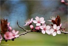 Spring Blossoms #2 (Hindrik S) Tags: spring lente bloesem blossem blossom flower blom plant soft color kleur sonyphotographing sony sonyalpha a57 α57 slta57 tamron tamronspaf1750mmf28xrdiiildasphericalif platinumheartaward