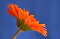 Orange 'n Blue I (christiane.grosskopf) Tags: orangeandblue gerbera flower blume blühte blossom komplementärfarbe complementarycolour macro macromondays