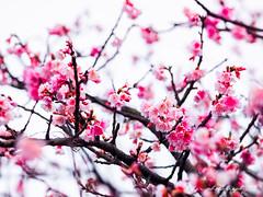 Sakura (紅襪熊) Tags: olympus omd em1 m43 micro43 microfourthirds olympusem1 sigma 150mm macro bokeh sigma150mmmacro apo f28 sigmaapomacro150mmf28 sigmamacro150mmf28 150mmf28 sigma150mmf28 sakura 櫻 櫻花 cherryblossoms pink flower flowers blossom blossoms castle cherry cherryblossom cherryblossomfestival cherrytree cherrytrees garden light nature park plant sky spring travel tree trees white さくら サクラ 春 桜 花 花見 賞櫻 日本 japan 粉 粉紅 陽明山 花季 賞花 平菁街 陽明山平等里 寒櫻