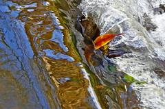 Orange leaf. (jeansmachines24) Tags: clyne littlewaterfall colour orangeleaf