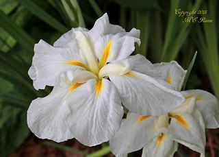 White Iris by Pond (2 of 3) in Summer at Leonard J. Buck Garden of Far Hills New Jersey
