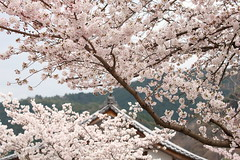 Sakura (Teruhide Tomori) Tags: sakura cherry tree flower spring kyoto japan japon arashiyama garden blossom bloom tenryujitemple 嵐山 天龍寺 京都 春 庭園 桜 日本 嵯峨野