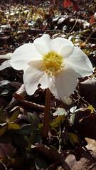 Spring Blossom (Cobra_11) Tags: flower blume hellebore helleborus nieswurz schneerose woods forest wald walk spaziergang spring frühling frühjahr blossom bloom
