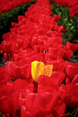 A different color (Mstraite) Tags: flower tulip red color spring oregon woodshoe woodenshoefestival different