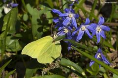 Lemon butterfly (GerWi) Tags: zitronenfalter lemon butterfly veilchen violet natur nature tiere falter butterflies