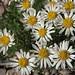 compact daisy, Erigeron compactus