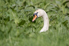 Mute swan (Happy snappy nature) Tags: muteswan portrait greengrass bokeh nature wildlife outdoors sunnyday shropshire