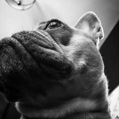 Eye Spy (OriginalJo) Tags: bulldog dog monochrome white black bw blackwhite yyc calgary frenchbulldog frenchie