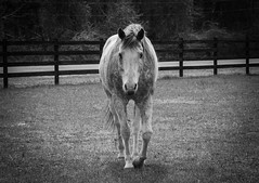 Hey Horsey! (T.M.Peto) Tags: horse horses caballo farm farmland farmfield horsefarm field grass newjersey nj animal animals domesticatedanimal jackson pasture beautiful beautifulanimal outdoor outdoors outdoorphotography animalphotography nikond3300 nikon nikonoutdoors nikonphotography lightroom adobelightroom blackandwhite blackwhite fence woodenfence pretty