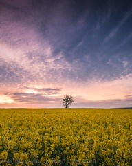 The Tree Stands Alone (Kevin Browne Photography) Tags: 2017 april easter hampshire sunday agriculture beech blue bluebells canola crop england farming fields kevinbrownephotography lone longexposure movement nature oilseed oilseedrape orange panoramic parnholt purple sunrise tree trees undergrowth woods yellow winchester unitedkingdom