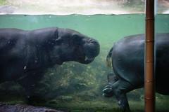 Pygmy Hippos swimming laps (BusyBlueMtns.Grandma) Tags: pygmy hippo singapore zoo