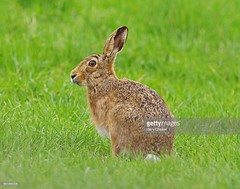 Hare (Gary Chalker, Thanks for over 2,000,000. views) Tags: hare k5 pentax pentaxk5 pentaxfa600mmf4edif fa600mmf4edif