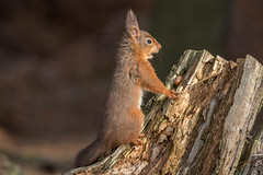 Red Squirrel (mariajames414) Tags: park squirel anamal mammal red