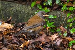 _DSC8474 (aeschylus18917) Tags: danielruyle aeschylus18917 danruyle druyle ダニエルルール japan 日本 kagoshima 鹿児島県 amamioshima 奄美大島 uushima kyushu 九州県 bird 鳥