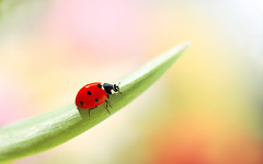Ladybug ❤️🍃 (ElenAndreeva) Tags: flowers red forest beauty color sun light summer bokeh cute lovely colors dof insect canon garden top colorful composition sweet focus bug natural best amazing nature macro flower spring ledybug