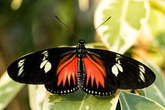 _DSC5017 Doris Longwing Butterfly (Charles Bonham) Tags: butterfliesinbloom butterfly insect sonya7r sonyfe2890mmmacrogoss dorislongwing macro