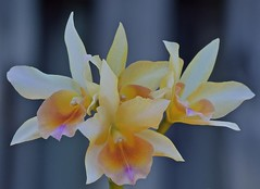 On A Blue Background (ACEZandEIGHTZ) Tags: orchid flower nikon d3200 bokeh beyondbokeh brassolaeliacattleya blc hybrid