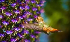 """Flying Jewels""  Allen's Hummingbird (Cathy Lorraine) Tags: colorful bokeh hummingbird allenshummingbird huntingtonbeachlibrary huntingtonbeach california bird nature springtime flowers naturethroughthelens sunrays5"