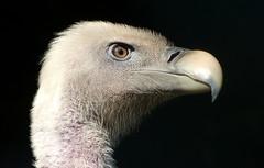 Griffon vulture - Vale gier in Avifauna (joeke pieters) Tags: 1300877 panasonicdmcfz150 avifauna nederland netherlands holland valegier gypsfulvus griffonvulture roofvogel birdofprey platinumheartaward ngc npc coth5