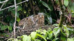 Bare-Throated Tiger-heron Chicks (jaytee27) Tags: barethroatedtigerheronchicks tigrisomamexicanum costarica tortuguero naturethroughthelens