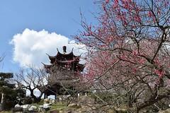 Ume garden 01 (itsuo.t) Tags: flower blossom ume japaneseapricot umegarden plumorchard japaneseapricotorchard 梅公園 梅の花 世界の梅公園