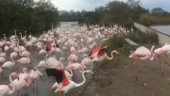 Les flamants roses s'en vont à pied ! - IMG_0931 (6franc6) Tags: réserve pontdegau 13 camargue bouchesdurhône france 6franc6 avril 2017 vidéo film