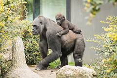 2017-04-08-12h10m19.BL7R2790 (A.J. Haverkamp) Tags: canonef100400mmf4556lisiiusmlens shae shindy amsterdam zoo dierentuin httpwwwartisnl artis thenetherlands gorilla sindy pobrotterdamthenetherlands dob03061985 pobamsterdamthenetherlands dob21012016