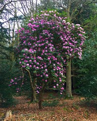 Rhododendron Tree (Marc Sayce) Tags: rhododendron tree march spring 2017 forest alice holt hampshire wrecclesham farnham surrey south downs national park