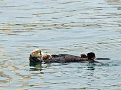 floating on mom (pakhouse@att.net) Tags: seaotter motherandpup relaxation bonding nature mammals oceanlife centralcoastcalifornia morrobay