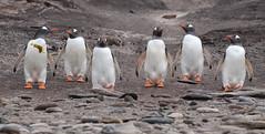 Six Gentoos (Med Gull) Tags: zegrahm antarctic 2017 saundersisland falklands gentoo penguin