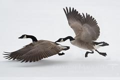 Gansos Canadienses (Canadian Geese) - Banff NP - Canada (Gaston Maqueda) Tags: bird aves gansos geese goose banff canada birding ornitologo wilde salvaje fauna animales animals alberta snow winter action