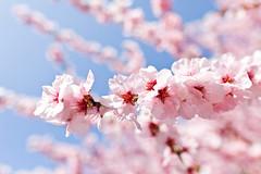 My love has returned (surfingstarfish) Tags: kirschblüte cherryblossom cherrytree frühling spring season bloom blossom blüte fresh nature blühen natur outdoor light sakura jahreszeit beauty