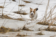 Sara. Lets enjoy the last snow. 13/52 (Tõnno Paju) Tags: sara 52weeksfordogs dog animal jack russel terrier jackrusselterrier
