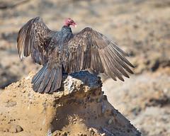Turkey Vulture (Brian Rockwell) Tags: turkeyvulture pointlobos carmel california