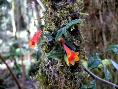 orchid at kumul lodge (Pete Read) Tags: orchid kumul lodge mount hagen papau new guinea