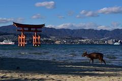 The Great Torii (Oliver MK) Tags: the great torii miyajima itsukushima deer red gate gateways japan asia sea landscape blue mountains shrine umoto sand sika shika nikon d5500 photography island hiroshima bay prefecture 日本 厳島 宮島 鹿 amateur floating