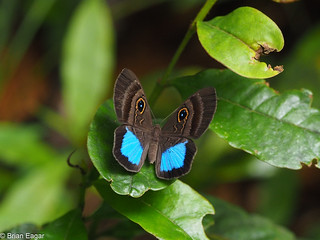 Happy Easter - Mesosemia crissima butterfly
