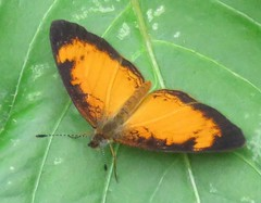 Tegosa anieta, Black-bordered Crescent (Birdernaturalist) Tags: butterfly costarica melitaeini nymphalidae nymphalinae richhoyer
