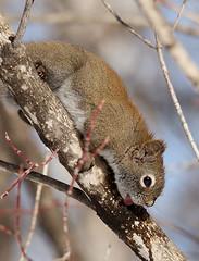 IMG_0734 Écureuil roux, Sainte-Hedwidge (joro5072) Tags: animal nature écureuil squirrel