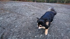 On the run. (Papa Razzi1) Tags: 8993 2017 099365 ontherun moltas chihuahua dog run forest spring april xperiax
