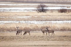 White tailed deer (ingridvg) Tags: deer brown beige animals whitetailed