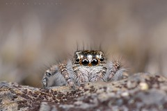 Philaeus chrysops (Villelongue) (G. Pottier) Tags: philaeuschrysops saltique salticidae jumpingspider araignéesauteuse saltiquesanguinolent spider araignée valléedesgaves