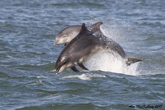 Bottle Nose Dolphin Aberdeen (AMKs_Photos) Tags: bottlenose bottlenosed bottle nose nosed dolphin dolphins genus tursiops truncatus aberdeen harbour torry girdleness scotland nature animal sea amksphotos amk photography canon eos 7d