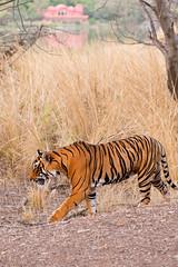 080 Day 2 Tigers (brads-photography) Tags: india male nationalpark pacman pantheratigristigris rajasthan ranthambore royalbengaltiger sawaimadhopur sideon t85 tiger tigerreserve walking wildlife