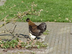 Bourtange, De Staakenborgh (Michiel Thomas) Tags: kip mother child chick hen babychicken motherandchild maternité henne couple chicken