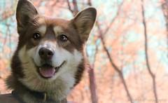 IMG_9208(4) (M.Aurelie) Tags: husky happy sibérienne nordique animaux
